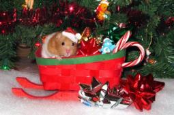 Christmas Hammy 4